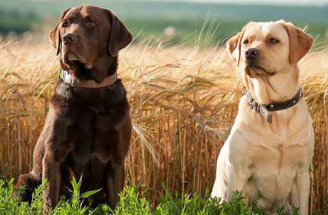 Лабрадор-ретривер - коричневый и палевый