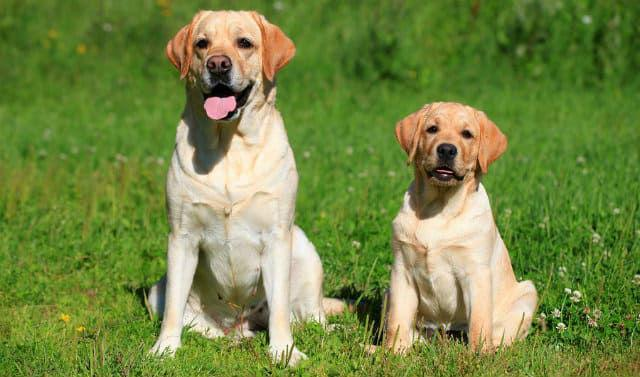 Лабрадор-ретривер - выбор щенка