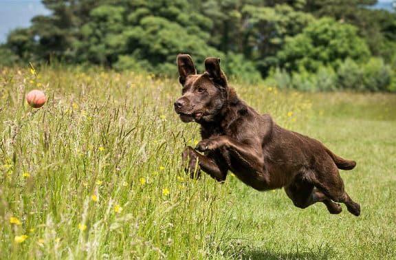 Лабрадор-ретривер - в прыжке за мячом
