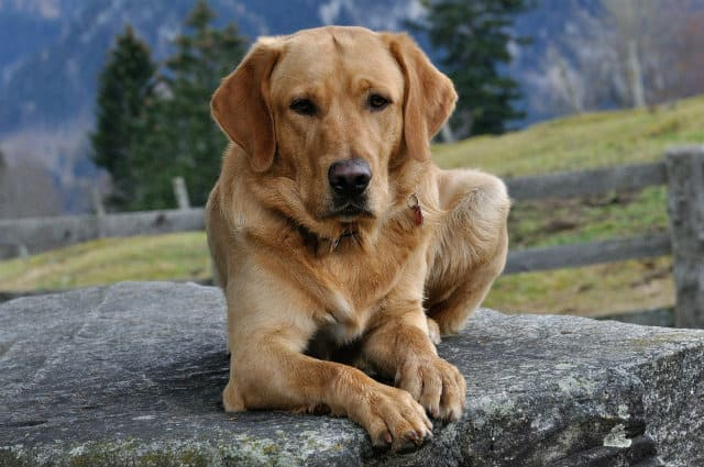 Лабрадор-ретривер - красивая собака