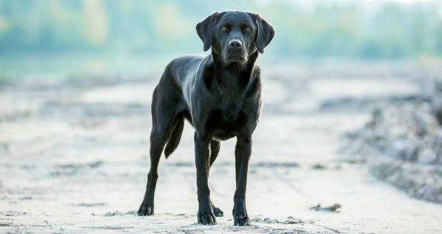 Лабрадор-ретривер черного окраса