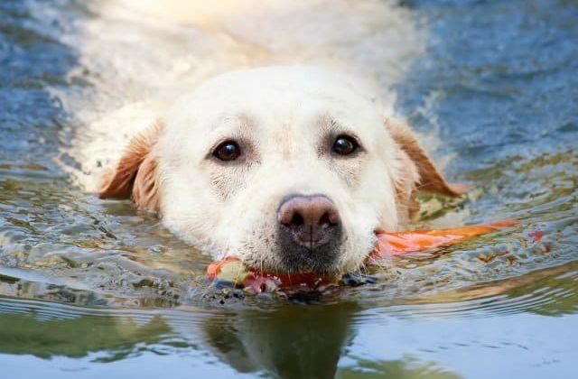 Лабрадор-ретривер в воде