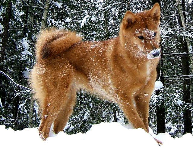 Собака породы Карело-финская лайка