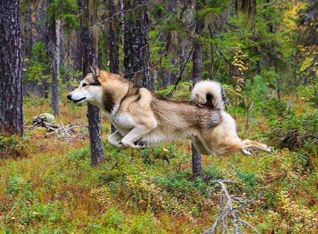 Лайка - дрессировка для охоты
