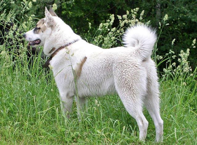 Собака породы Западносибирская лайка