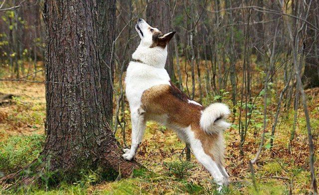 Лайка - охота на белку