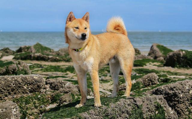 Собака породы Японская лайка