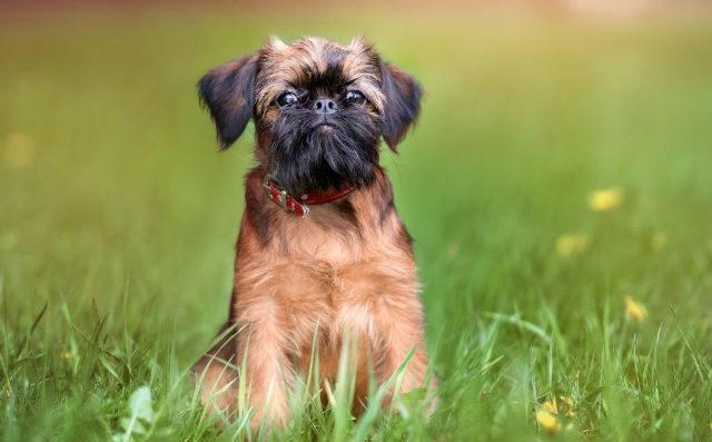 Маленькая порода собак - Брюссельский гриффон