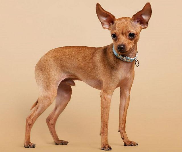 Топ-10 самых маленьких собак в мире - русский той-терьер
