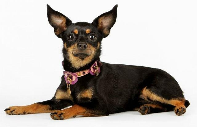Маленькая порода собак - русский той-терьер