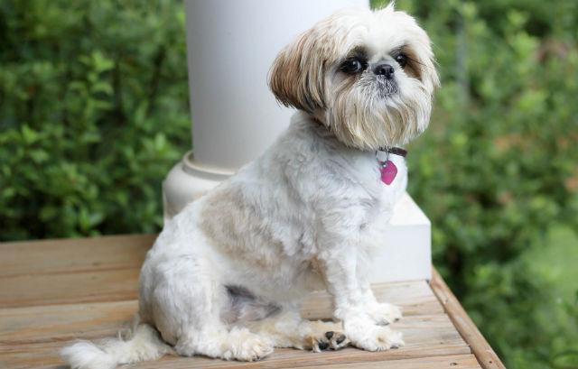 Самые маленькие породы собак - ши-тцу