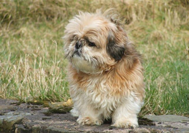 Топ-10 самых маленьких собак в мире - ши-тцу