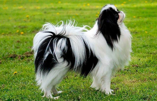Маленькая порода собак - японский хин