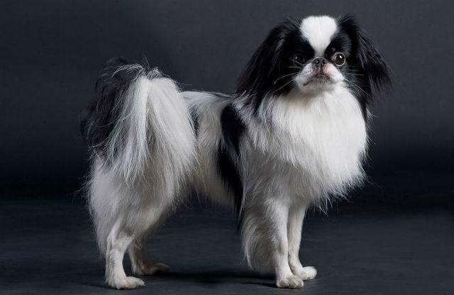 Топ-10 самых маленьких собак в мире - японский хин
