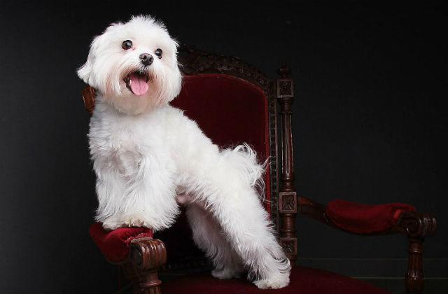 Мальтийская болонка - милая собака