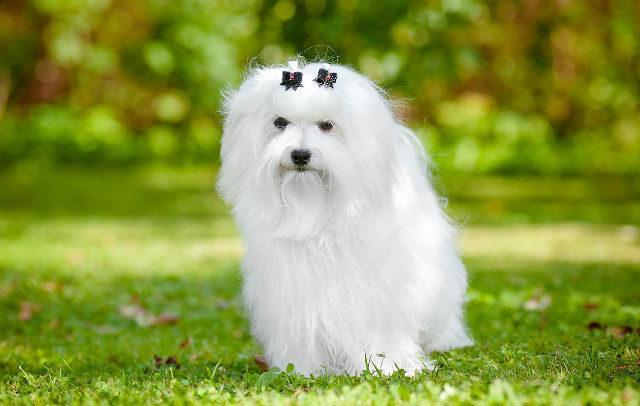 Самые милые собаки - Мальтийская болонка