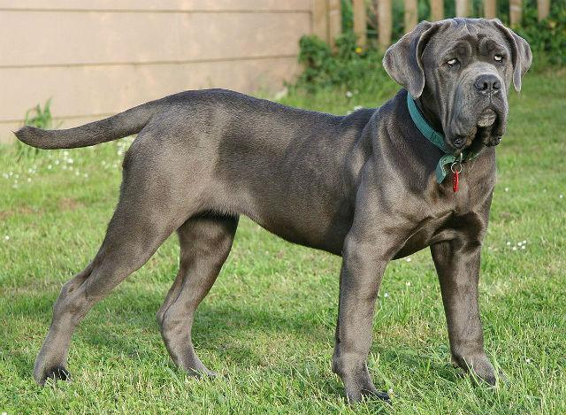 Самые спокойные собаки - Неаполитанский мастиф