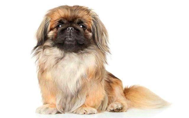 Пекинес - самые дорогие собаки