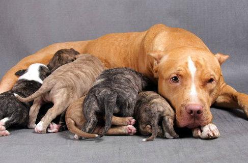 Питбуль прайтер с щенками
