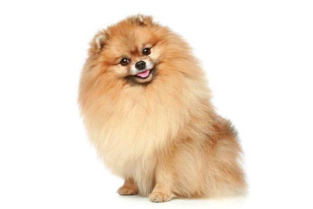 Померанский шпиц - самые дорогие собаки