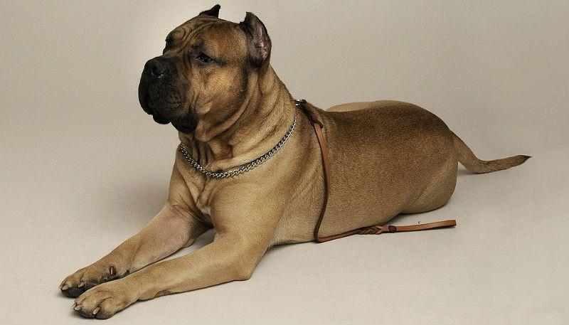 Собака породы канарский дог