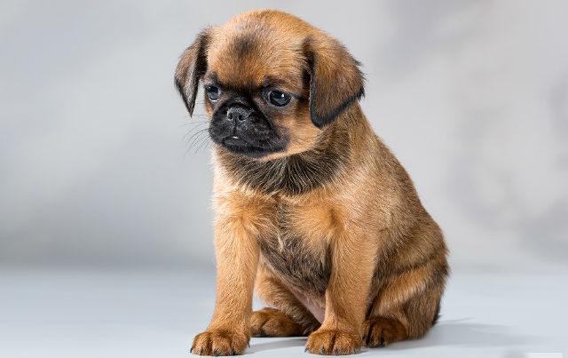 Милый щенок породы Пти брабансон