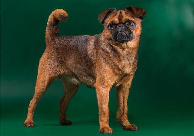 Самые милые породы собак - Пти брабансон