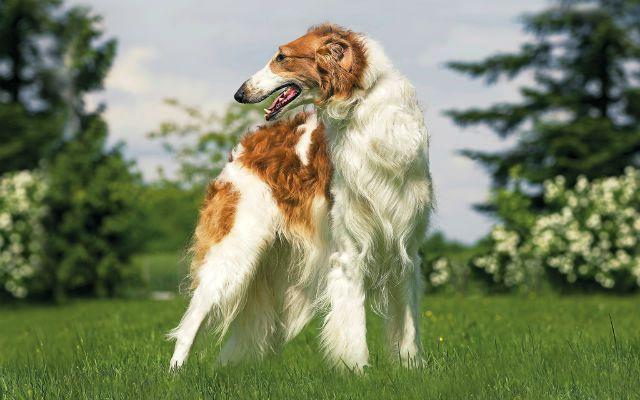 Самые глупые породы собак - Русская борзая