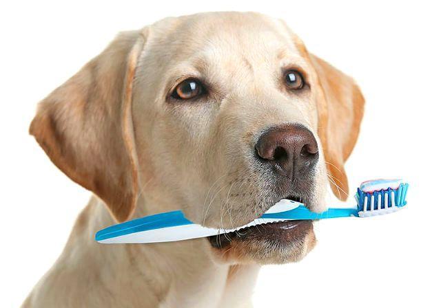 Щенки лабрадора - чистка зубов