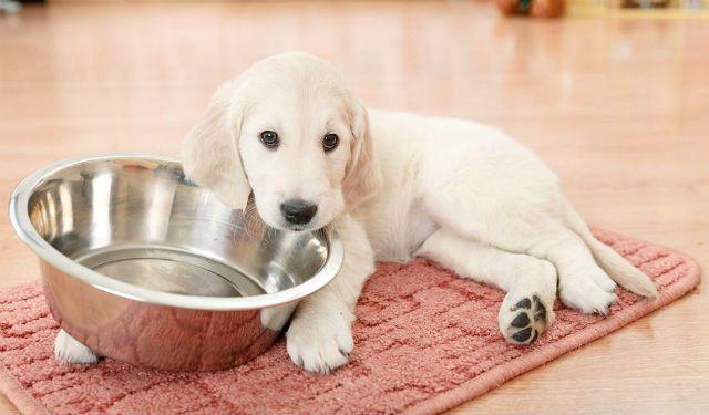 Лабрадор - правильное кормление щенка