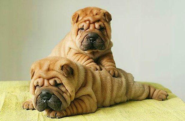 Шарпей - два щенка