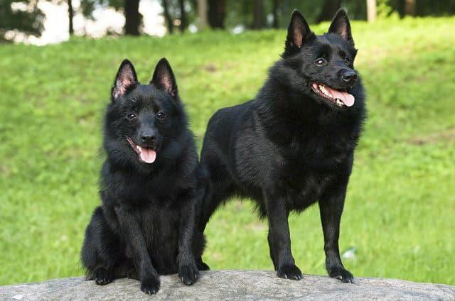 Маленькая порода собак - Шипперке