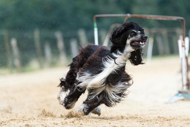 Афганская борзая - Самые быстрые собаки