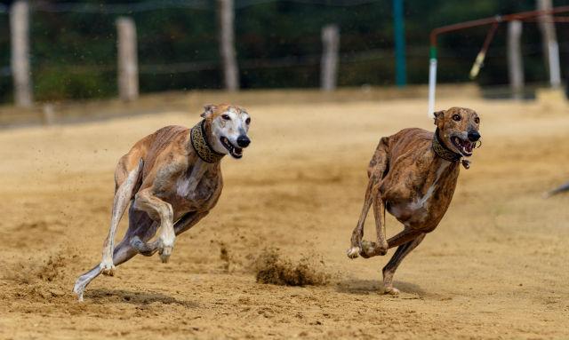 Английская борзая - Самые быстрые собаки