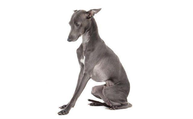 Левретка - Самые быстрые собаки