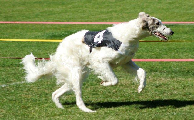 Русская псовая борзая - быстрая собака