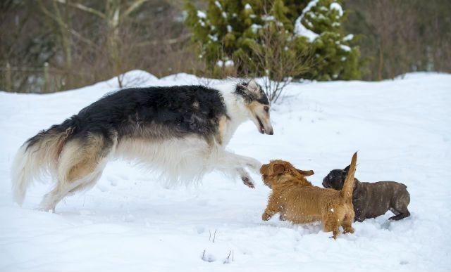 Русская псовая борзая - Самые быстрые собаки
