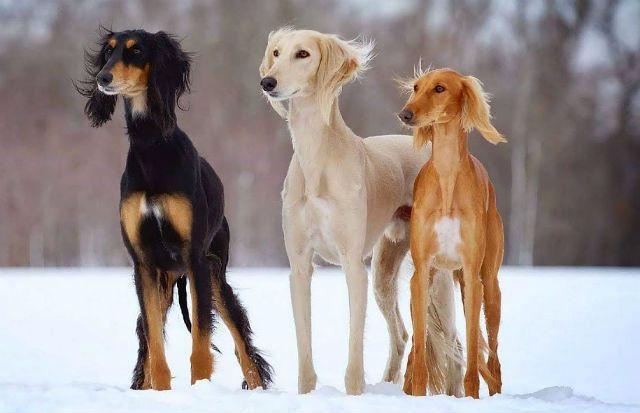 Салюки - быстрая собака