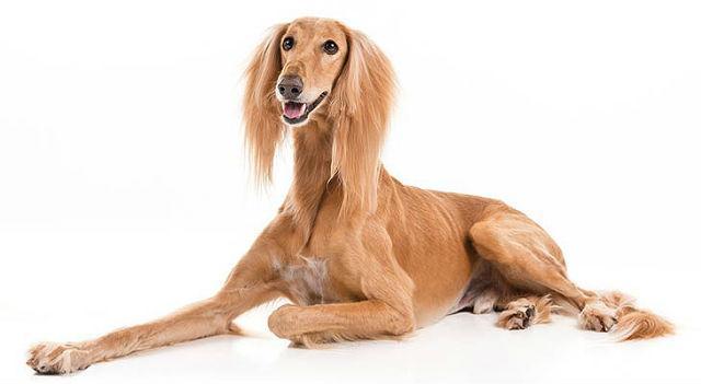 Салюки - Самые быстрые собаки