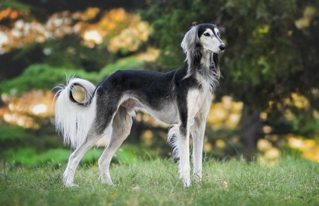 Самые быстрые собаки - Салюки