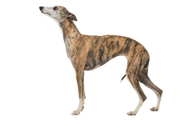 Уиппет - Самые быстрые собаки