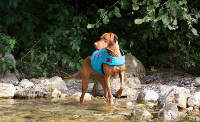 Самые быстрые породы собак - венгерская выжла