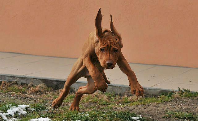 Венгерская выжла - быстрая собака