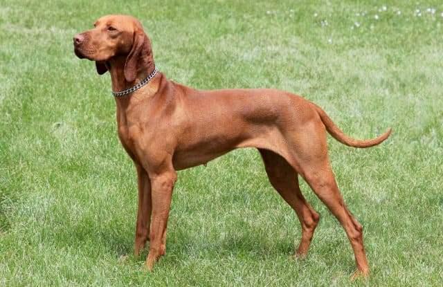 Венгерская выжла - Самые быстрые собаки