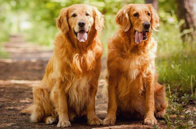 Самые добрые собаки - Золотистый ретривер