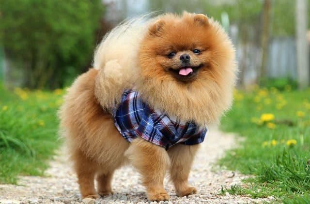 Самые красивые породы собак - Померанский шпиц