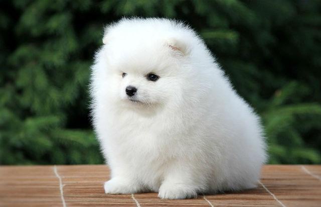 Померанский шпиц - красивые породы собак