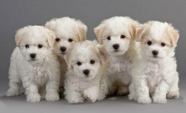 Милые щенки породы Бишон-фризе