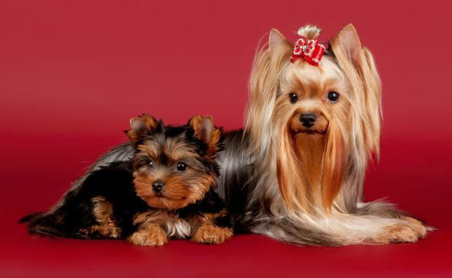 Самые милые породы собак - Йоркширский терьер