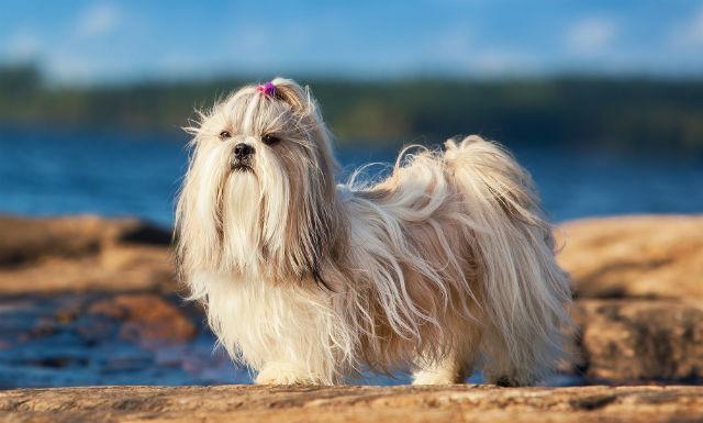 Самые милые породы собак - Ши-тцу